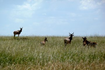 Mara Antelope