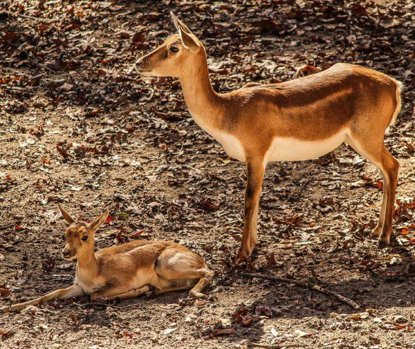 mara-gazelle-impala