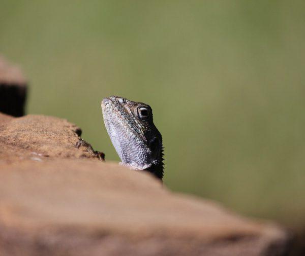 tsavo-lizard
